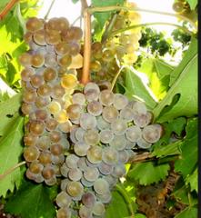 Виноград технических сортов