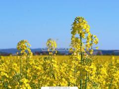 Рапс технический,  сельское хозяйство