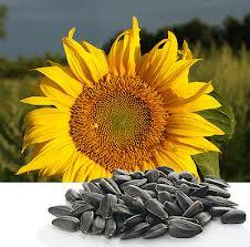 Sunflower sunflower seeds