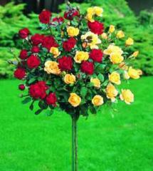 Трёхствольные штамбовые розы