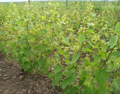 Саженцы абрикосов в Молдове, Саженцы абрикоса в