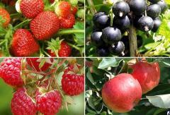 Саженцы ягодных кустарников.