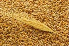 Пшеница и ячмень