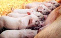 Премиксы NUTRISTAR для выращивания свиней