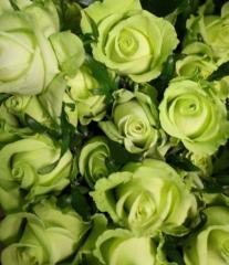 Зелёные розы сорт Грин Планет