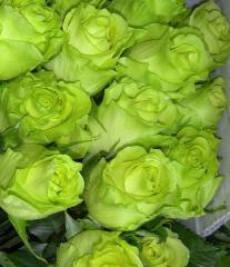 Зелёные розы сорт Лимбо