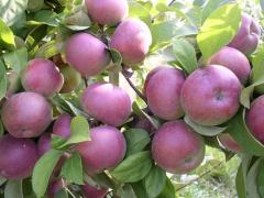Spartan apples from CAP