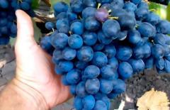 Виноград сорт Молдова