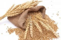 Wheat for export