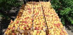 Peaches for export