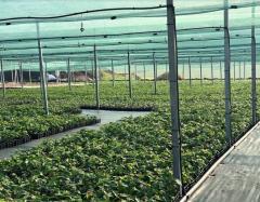 Hazelnut seedlings from the company Hazelnurse,