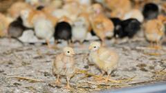 Цыплята-однодневки, инкубационное яйцо