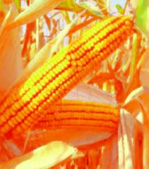 Семена Кукурузы - MTI 360
