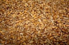 Пшеница фуражная класс 4, 5