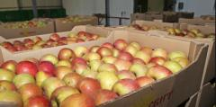 Apples for export
