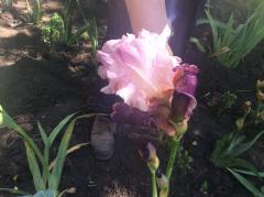 Ирис двухцветный: розовый с прожилками фиолетового, с темным фиолетовым основанием