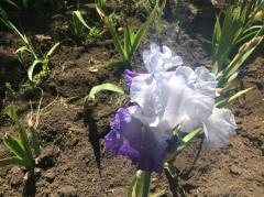 Ирисы белые с нежно фиолетовыми нижними лепестками