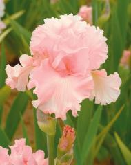 Ирис розовый