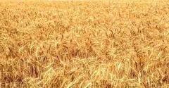 Семена озимой пшеницы ARVADA