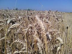 Семена двуручки пшеницы: TESLA