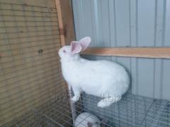 Кролик породы Белый панон самка беременная