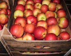 Яблоки на экспорт сорт Чемпион