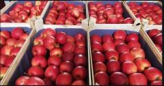 Яблоки на экспорт сорт Гала