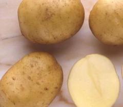 Семенной картофель сорт Фрисланд