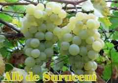 Struguri de masa Alb de Suruceni (Виноград