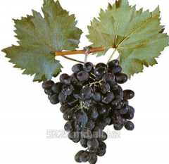 Struguri de masa Moldova (Moldova Grapes)