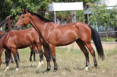 Breeding foals, stallions and Mares