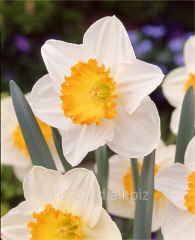 Bulbs of narcissuses