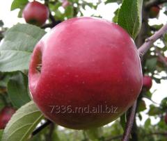 Яблоки Слава Победителя