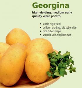 Dahlia potatoes