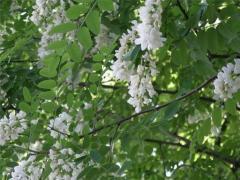 Acacia flowers (white acatia)