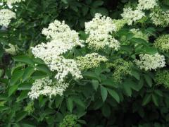 Бузина черная цветки(Elder flowers)