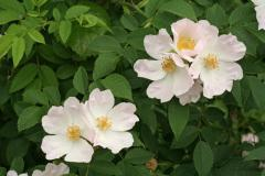 Rosa canina, dog-rose (cinnamon rose)