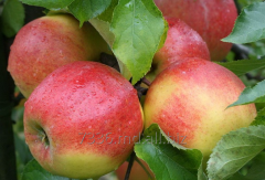 Apples Montuan