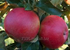 Apples Dzhonared (Johnathan Red)