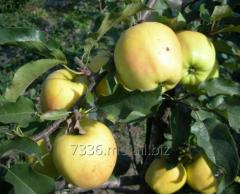 Apples of Golden Rezisten