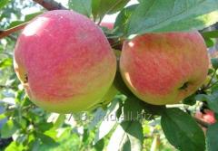 Apples of Melba