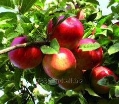 Apples Prima