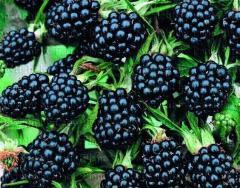 Ежевика- BLACKBERRIES