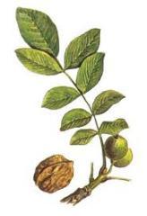 Подвои ореха грецкого