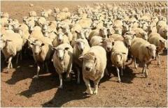 Шкура овечья,Шерсть овечья