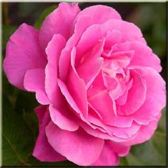 Саженцы Дамасской розы (чайной)