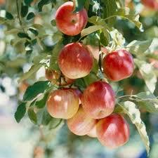 Peach saplings