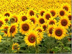 The sunflower calibrated in Moldova