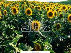 Sunflower sale Moldova