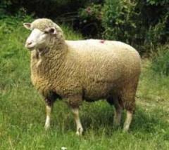 Премиксы для овец     Premixuri pentru oi